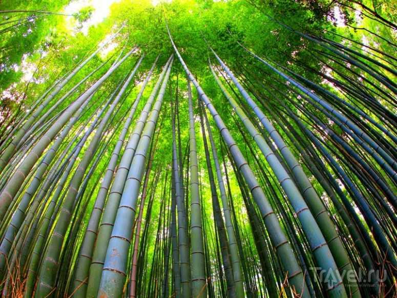 Бамбуковый лес. Сагано, Япония