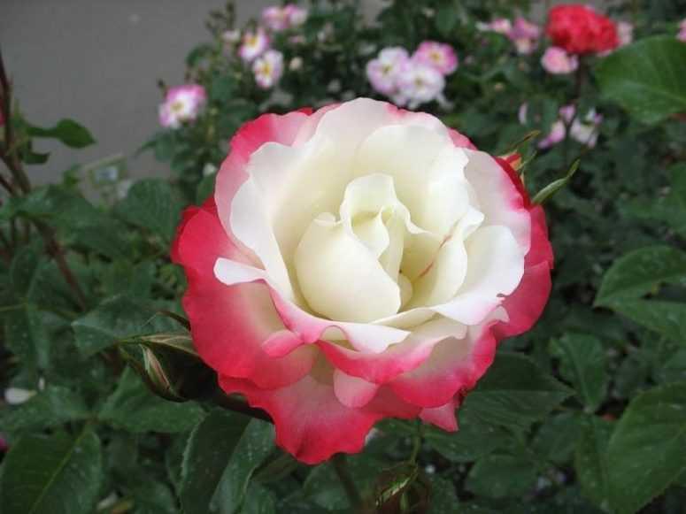 """В Японии вывели необычный сорт роз """"Хамелеон""""..."""
