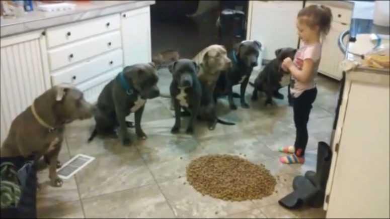 Маленькая девочка высыпала на пол корм. Только взгляните на реакцию шести голодных питбулей