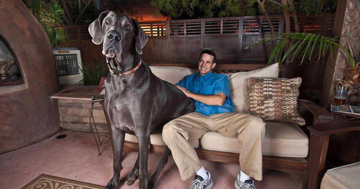 Собаки-гиганты: самые крупные породы