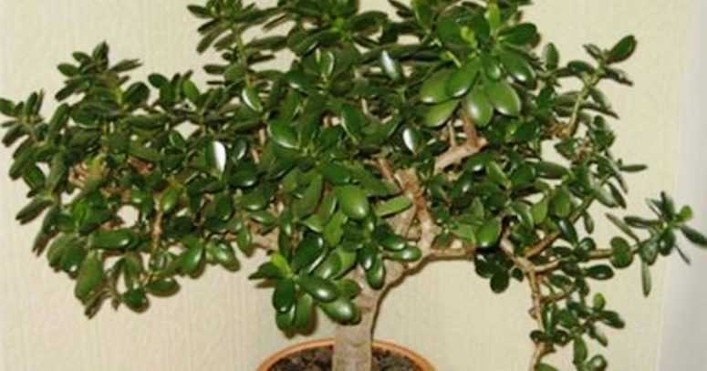 Узнайте, что вы поливаете и выращиваете, если у вас на подоконнике стоит такое растение