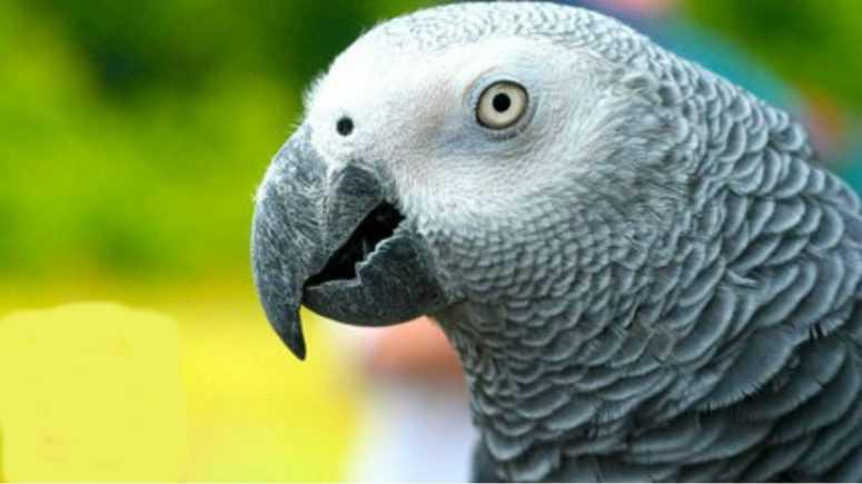 Веселая история,о том как попугай рассказывает сказку о Красной Шапочке. Я ржал до слез!