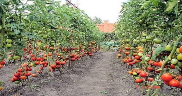 Если вы садите помидоры, то его нужно бросать в лунку